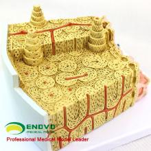 JOINT09 (12356) Estrutura de osso anatômico microscópico da ciência médica ampliar a anatomia