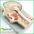 BRAIN02 (12399) modèle avancé de section de cerveau, 53 positions affichées cerveau