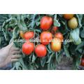 Suntoday atacado rio roma grande determinado plantio vermelho processo indiano sgyanta 1359 sementes de tomate aberto arquivado (22015)