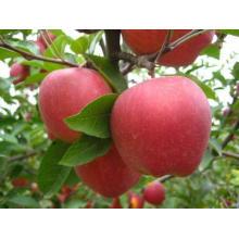 Bulk frische rote Äpfel