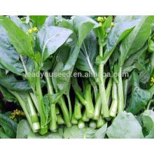 CS05 Dongzhu 90 dias verde choy sum sementes, sementes de hortaliças chinesas