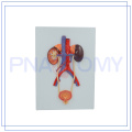 PNT-0568 hot sale urinary system relief model