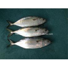 Peixes frescos congelados da cavala indiana