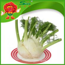 Niedriger Preis Großhandel chinesische Fenchel Wurzel frischen Stamm Gemüse