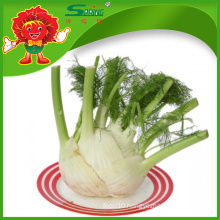 Exporter of Chinese Fresh Fennel Root