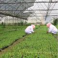 Medlar Goji Berry Lycium Chinense