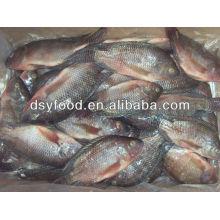 WGS frozen tilapia fish