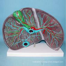 Модель медицинской модели анатомии печени человека (R100105)