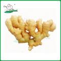 China fresh ginger /Fresh ginger/Ginger