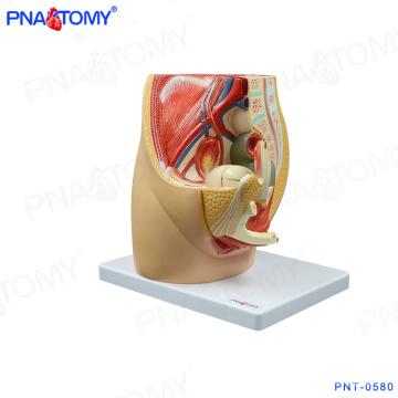 PNT-0580 Modèle de cavité pelvienne femelle à 3 parties, modèle anatomique du bassin