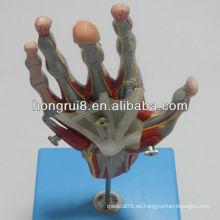 ISO Músculos de la mano con los vasos principales y los nervios, modelo de la mano de la anatomía