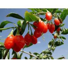 Ningxia factory wholesale bulk dried organic goji berries