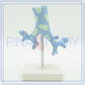 PNT-0751 Trachea Bronchi model for medical use