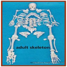 Disartikuliertes volles menschliches Skelett, 170cm großes erwachsenes Skelett mit Schädel