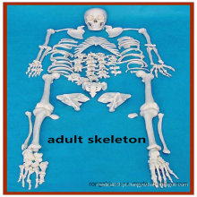 Esqueleto humano completo desarticulado, esqueleto adulto alto de 170 cm com crânio