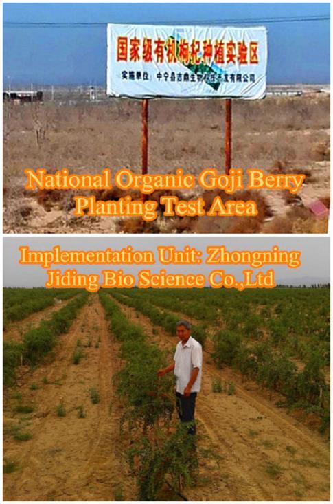 Orgainc Goji berry planting farm