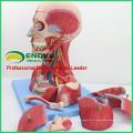 MUSCLE07 (12030) Tête et cou avec vaisseaux, nerfs et cerveau (modèle médical, modèle anatomique) 12030