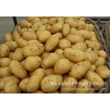 Hochwertige neue Ernte frische Kartoffel (150g und höher)