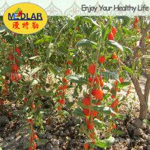 Medlar Lbp 2016 Fresh Best Organic Wolfberry