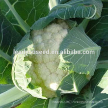 MCF14 Snow mid maturing quality cauliflower seeds in hybrid seeds