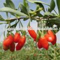 2016 new crop Top Quality Gojiberry From Gansu