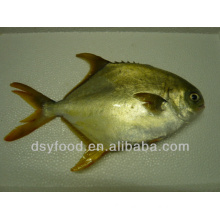 FROZEN GOLDEN POMFRET WHOLE ROUND