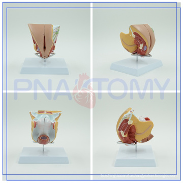Professional Manufacturer High Quality Anatomical Female Genital Organ Teaching Model for women