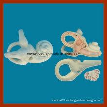Modelo de disección de oído interno amplificado para la enseñanza médica