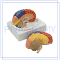 PNT-0612 life size Brain model with functional region painted