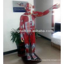 ISO170-cm Modelo completo de los músculos del cuerpo con los órganos internos, modelo de los músculos de la anatomía