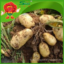 high quality fresh potato 2016 hot sale organic planting cheap factory price supply potatoes
