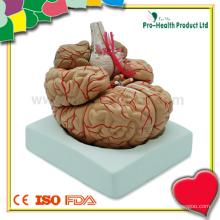 Ensino de modelo plástico de cérebro humano com distribuição da artéria