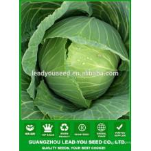 NC53 Nizi F1 forme ronde grand fruit fournisseur chinois de graines de chou