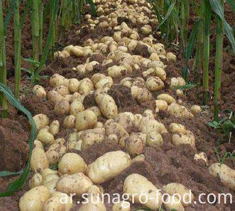 High Yield And Quality Potatoes