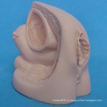 Женская модель анатомии катетера для медицинской практики перед хирургией (R110208)