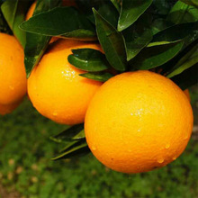 Best Quality for Sweet Citrus Citrus heights ca county supply to Haiti Importers