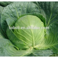 IQF Chinese fresh purple cabbage