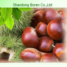 New Crop Chinese Fresh Chestnuts