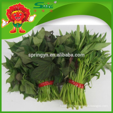 2015 Légumes verts à feuilles fraîches Feuille de patates douces