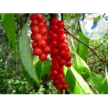 Herbes d'agrandissement du pénis sex produits schisandra chinensis
