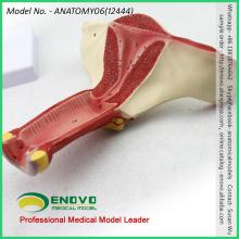 VENDER 12444 Modelo anatómico Modelo genómico interno de órganos genitales femeninos