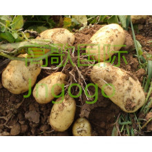 2015 nova safra profissional exportando batata