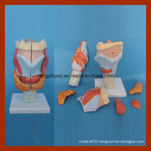 Medical Human Anatomical Larynx Model (7 PCS)