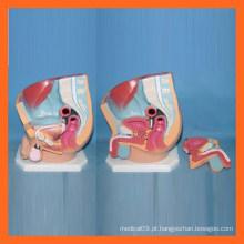 Plástico Humano Masculino Pelvis / Sistema de Sistema Reprodutivo Anatômico Urinário