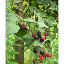 Individuel Quick Freezin-IQF Organic Blackberry Zl-006