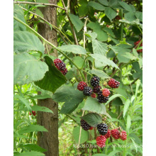 Individual Quick Freezin-IQF Organic Blackberry Zl-006