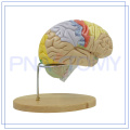 PNT-0614 high quality plastic teaching anatomical brain models for sale