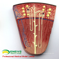 SELL 12435 Medical Science Model Kidney Section, Nephron and Glomerulus, Anatomy Models > Urinary Modelss
