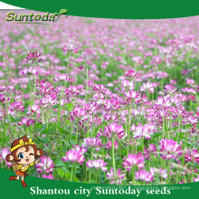 Suntoday herbe japonaise utilisation comme engrais pour le riz légumes fruits organiques chinois graines de vesce de lait (81006)