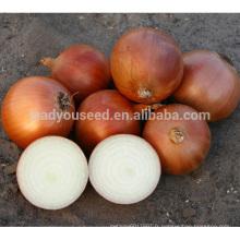 ON03 Huangjin mi-tard maturité des graines d'oignon jaune à vendre